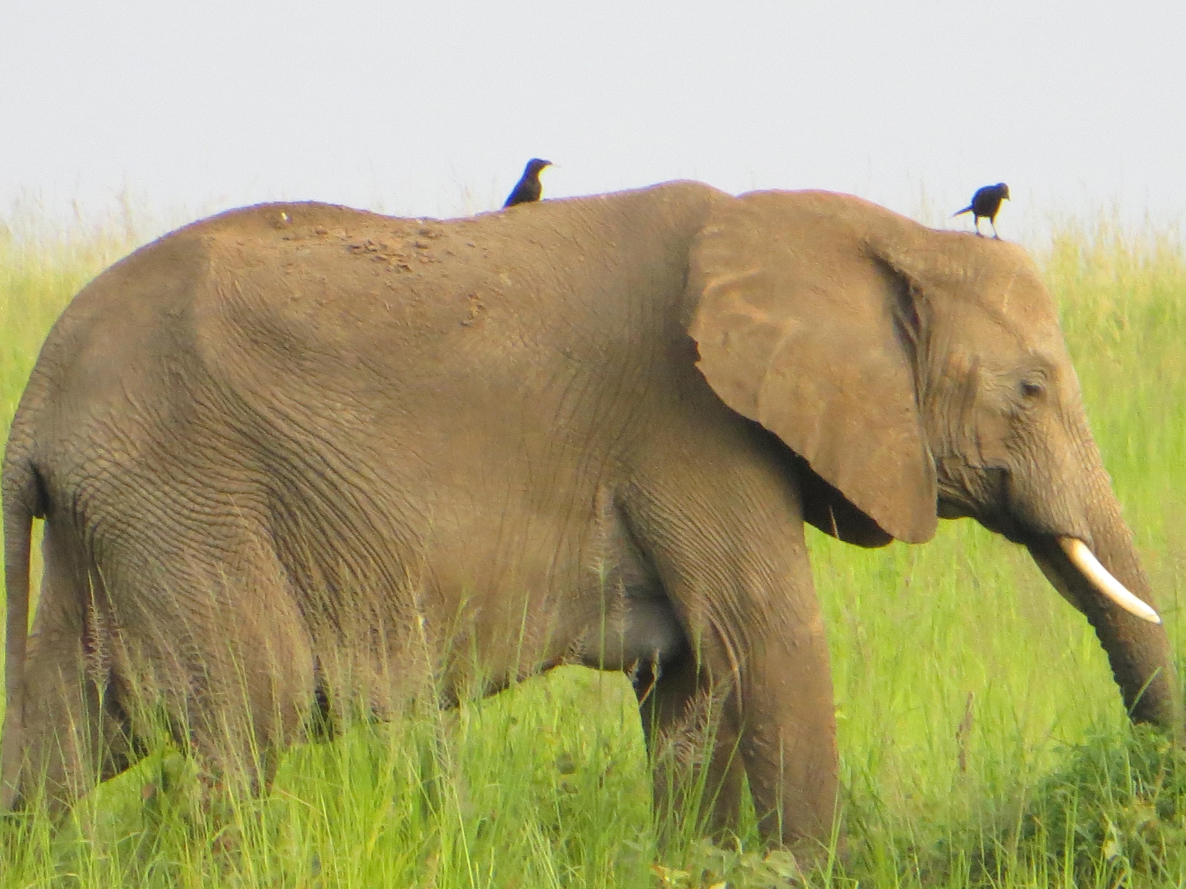 Elefant mit Helfer